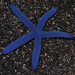 lg_78699_Blue_Linckia_Sea_Star